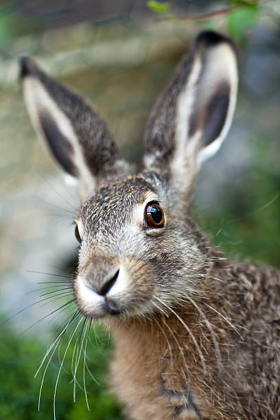 An up close image of a brown baby hare in nature