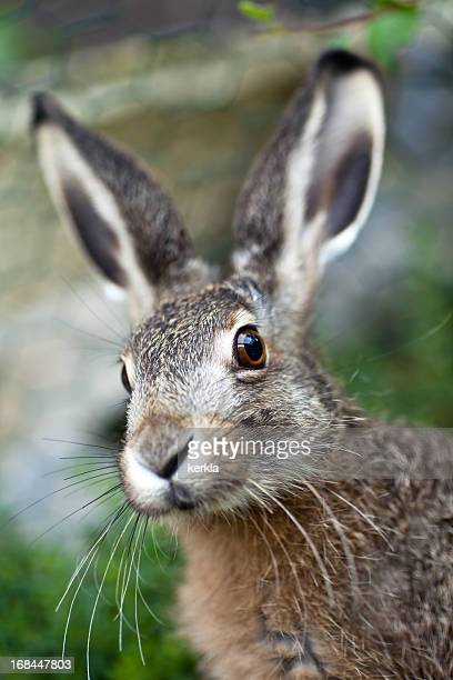an up close image of a brown baby hare in nature - brown hare stock pictures, royalty-free photos & images