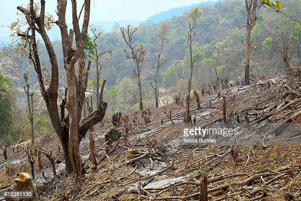 An upland rice field after burning in remote Kayah State on 22nd March 2016 in Myanamr Slash and burn or swidden cultivation consists of cutting the...