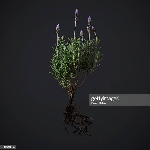 An uprooted Lavender bush