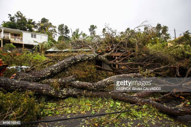 An uprooted tree covers a small wooden and iron house in the village of Viard Petit Bourg near PointeaPitre on September 19 2017 in the French...