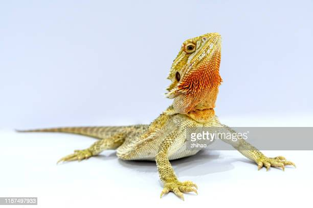an upward looking lizard against a white background - iguana foto e immagini stock