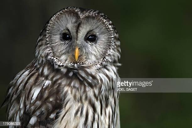 An Ural Owl rests in the Rambouillet forest on July 31 some 50 kms outside Paris AFP PHOTO / JOEL SAGET