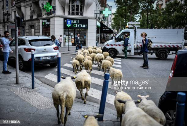 An urban farmer crosses a street with a herd of sheep in Aubervilliers north of Paris on June 13 2018 as part of a cattle drive The flock of 60 ewes...