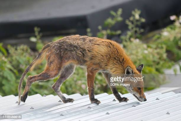 An urban fox is seen on a garden shed in north London Foxes are now very common and often seen in close proximity to humans and during day time