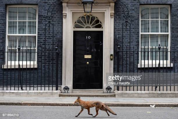 An urban fox passes by the door of 10 Downing Street on June 12, 2018 in London, England.