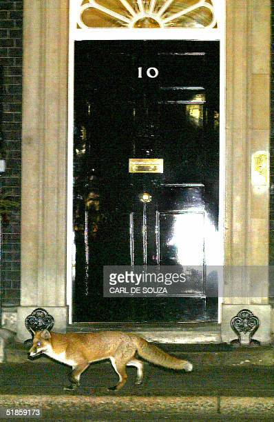 An urban fox passes the door to no10 Downing St the home of British Prime Minister Tony Blair 14 Dcember 2004 Urban foxes are a common sight in...