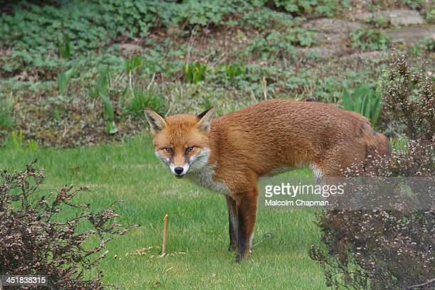An urban Fox sharpens teeth on a stick in a Surrey garden, near Woking, on 21st March 2013. Foxes are now very common and often seen in close...
