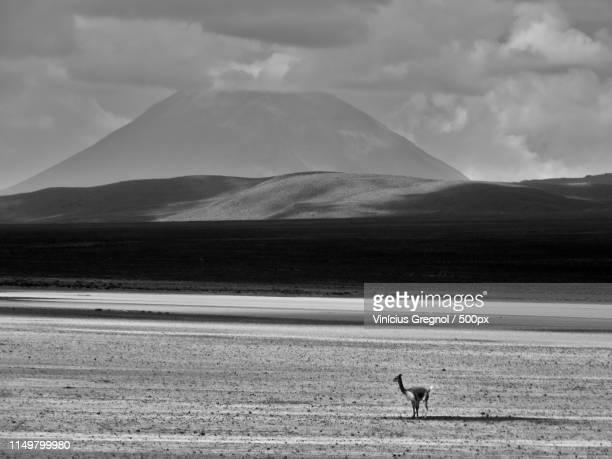 an vicuña (vicugna vicugna) in the desert with a mountain in the background - gregnol fotografías e imágenes de stock