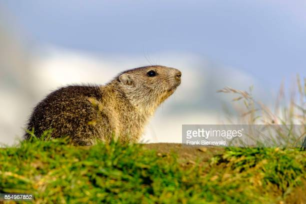 HEILIGENBLUT CARINTHIA AUSTRIA An young Alpine marmot is sitting on a mountain slope at KaiserFranzJosefsHöhe