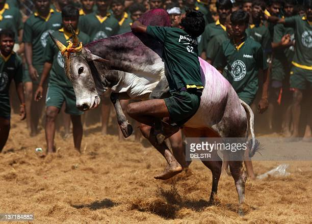 An youngster tries to tame a bull at a traditional bull taming festival called Jallikattu in Palamedu near Madurai arround 500km south of Chennai on...