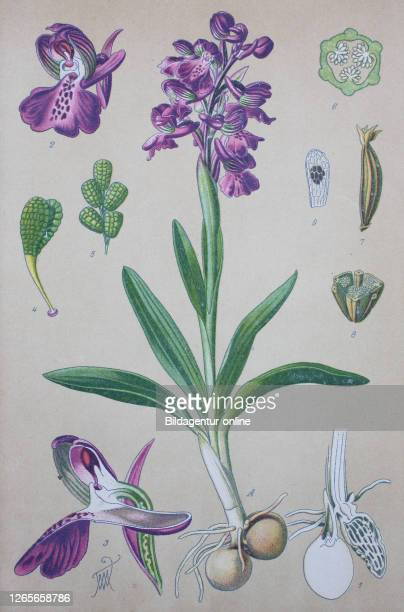 Anacamptis morio, the green-winged orchid or green-veined orchid, synonym Orchis morio, is a flowering plant of the orchid family, Orchidaceae /...