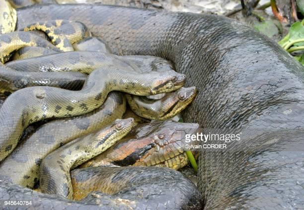 Anaconda Accouplement