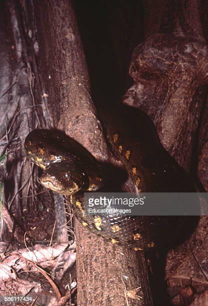 Anaconda Cumacera Creek Yarapa River tributary Peruvian Amazon Eunectes murinus