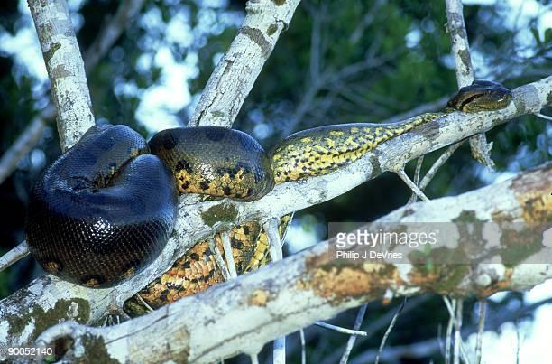 anaconda eunectes murinus on branch napo, ecuador - anaconda snake stock photos and pictures