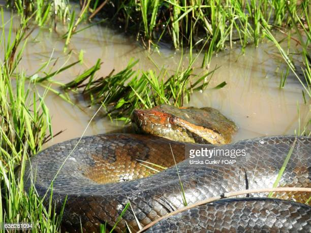 anaconda in water - anaconda snake stock photos and pictures