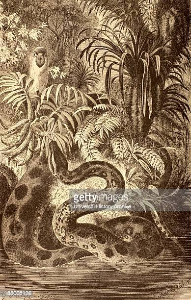 Anaconda Looking For Prey From La Vida De Los Animales Published Spain Circa 1885