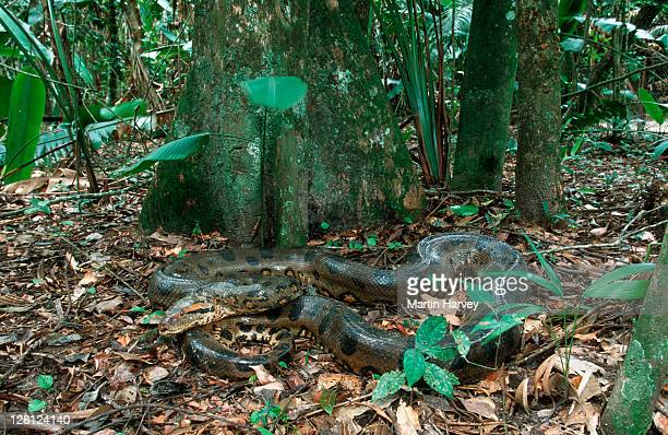 anaconda (eunectes murinus) on forest floor, south america - anaconda stock pictures, royalty-free photos & images