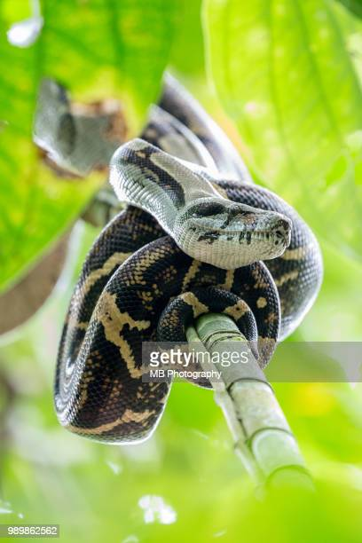 anaconda - anaconda stock pictures, royalty-free photos & images