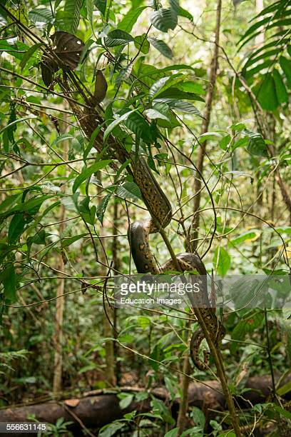 Anaconda snake climbs a tree Peru
