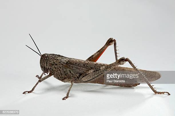 anacridium aegyptium (egyptian locust) - locust stock pictures, royalty-free photos & images