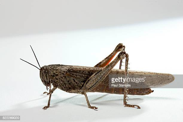 anacridium aegyptium (egyptian locust) - locust stock pictures, royalty-free photos & images