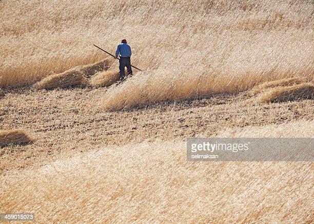 anatolian farmer using scythe for harvesting - scythe stock photos and pictures