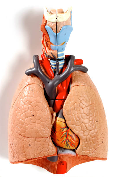 Lung, Anatomy Pictures | Getty Images