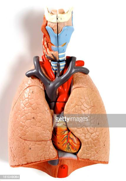 Anatomic Model Of The Chest Organs Larynx Trachea Lung Heart Of An Adult Human Body Anterior View Lying In The Throat The Larynx In Light Blue Is...