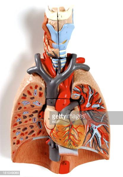 Anatomic Model Of The Chest Organs Larynx  Trachea  Lung
