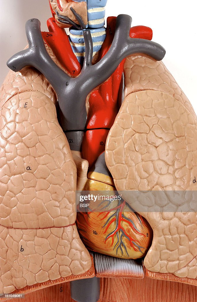 Anatomic Model Of The Chest Organs Trachea Lung Heart Of An Adult