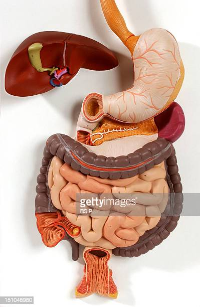 Anatomic Model Of The Digestive Tract Of An Adult Human Body Anterior View The Esophagus In Tan Brings The Alimentary Bolus To The Upper Part Of The...