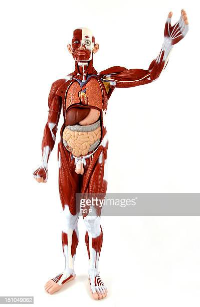 Anatomic Model Of The Muscular System And Organs Of The Trunk Of An Adult Man Face On The Main Superficial Skeletal Muscles Are Depicted In Burgundy...