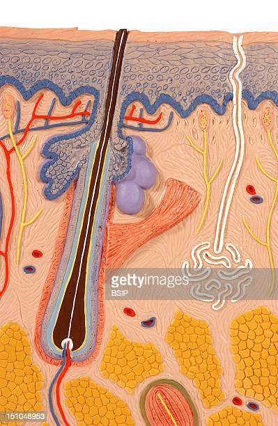 Anatomic Model Of The Skin Frontal Section The Integumentary System Includes The Skin And Its Appendages Hairs Glands Muscles And Nerves The Skin Is...