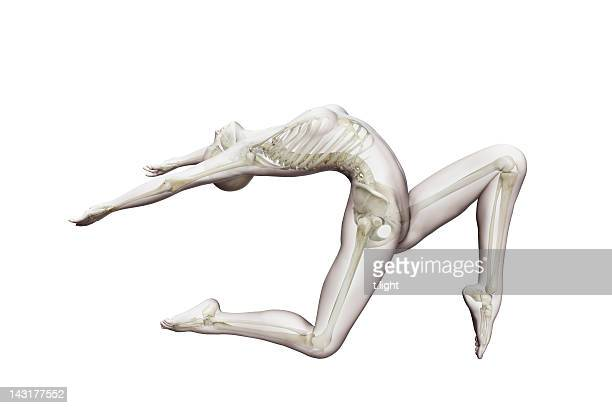 Anatomical ballet model
