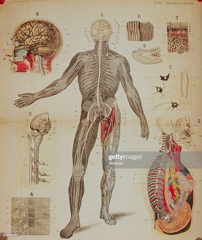 Anatomical Diagrams Illustrate The Human Nervous System Especially