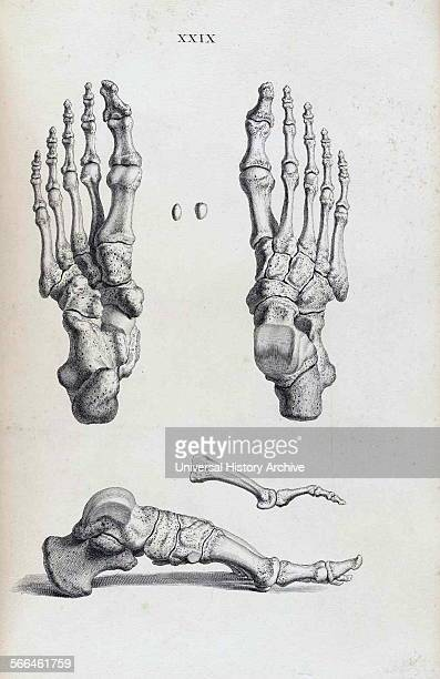 Anatomical drawing by William Cheselden in Osteographia or The anatomy of the bones