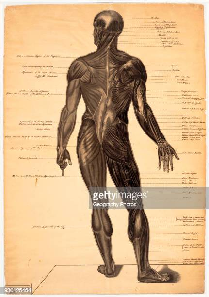 Anatomical drawing male figure one of three by American female artist Harriet Hosmer