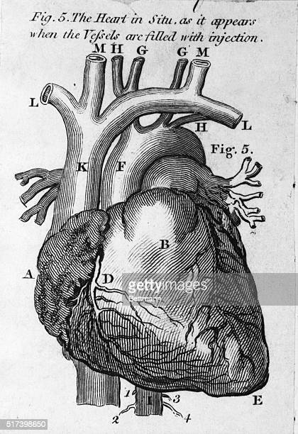 Anatomical drawing of a heart as it appears when the vessels are filled with injection Undated illustration BPA2