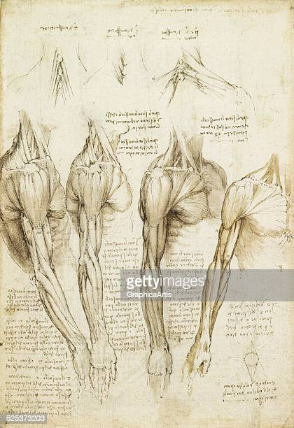 Anatomical drawing of the muscles of the shoulder arm and neck by Leonardo da Vinci sketch drawn in ink circa 151011 From the Royal Collection London