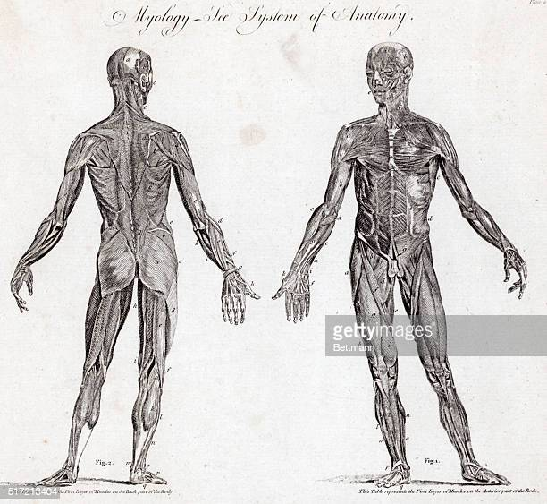 Anatomical illustration showing the human musclular system Undated engraving