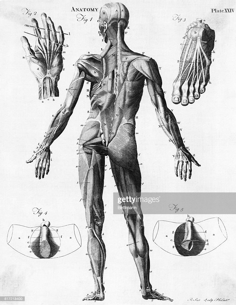 Anatomical Illus Of Human Muscles Pictures Getty Images