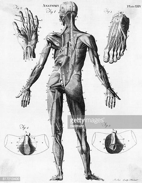 Anatomical illustration showing the muscles of the human body Undated engraving
