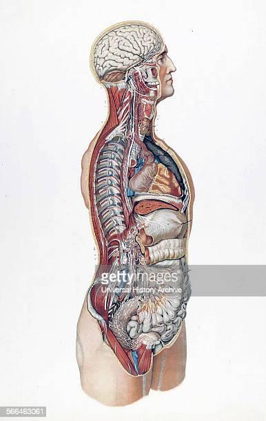 Anatomical illustrations by Sigismond Balicki 18581916 from 'Anatomie normale du corps humain' by Sigismond Laskowski 1894