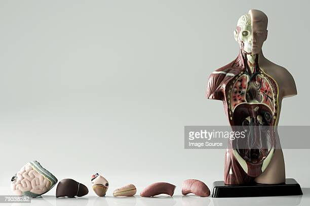 anatomical model and internal organs - heart internal organ stock pictures, royalty-free photos & images