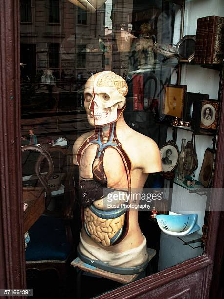 anatomical model in an antique thrift store, italy - human stomach internal organ stock photos and pictures