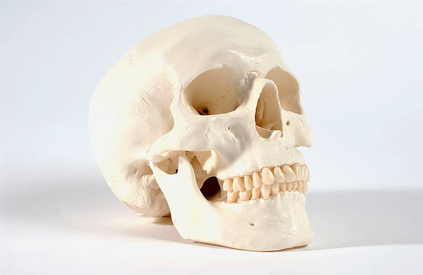 Skull Skeleton Pictures Getty Images
