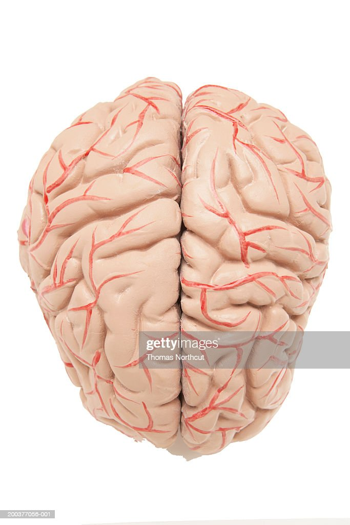 Anatomical Model Of Human Brain Elevated View Stock Photo Getty Images