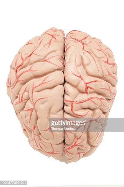 Anatomical model of human brain, elevated view