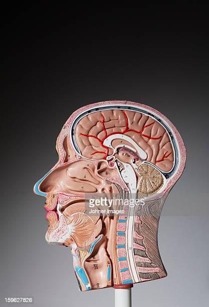 Anatomical model of human head